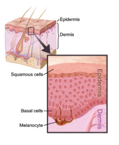diagram of skin layers in detail