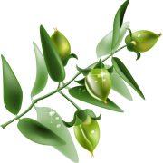 jojoba plant uses